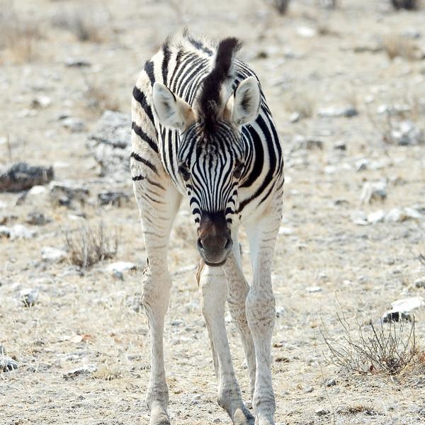 Baby_Zebra1