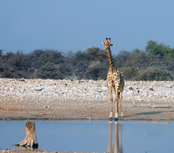Giraffe_at_water1