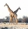 Giraffes_Crossed2