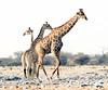 Giraffes-1_2_3
