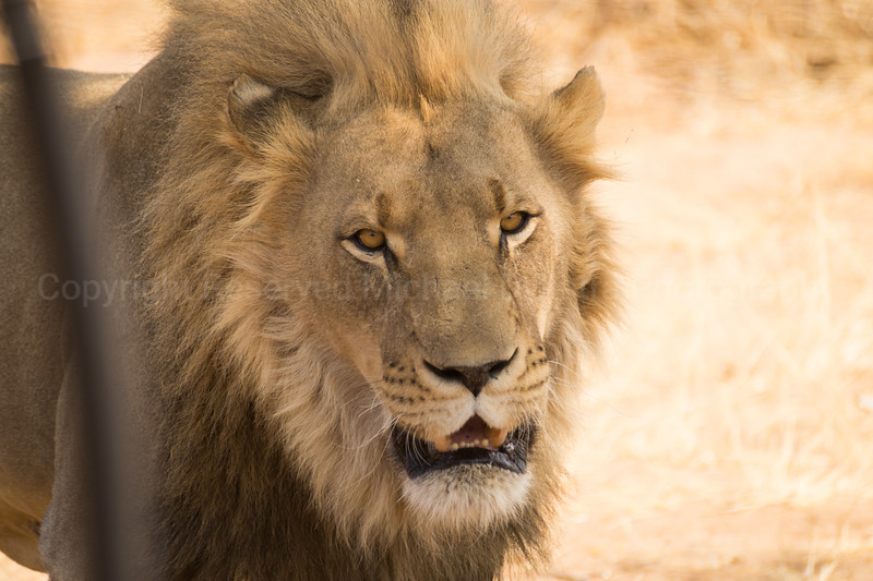 This male lion was less than thrilled about our presence. His mane is so majestic.