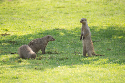Banded Mongoose, surveying the surroundings