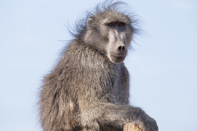 I love the long hair on this baboon