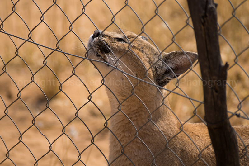 Caracal joyously rubbing his face on anything he can. So cute.
