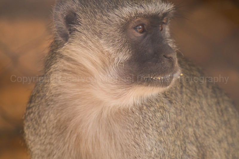 This one was too violent with the other monkeys so he needs to be kept in his own pen. I certainly wouldn't want to mess with him. They apparently like biting the inside of people's thighs- our guides all said they'd had at least one such encounter with these monkeys.