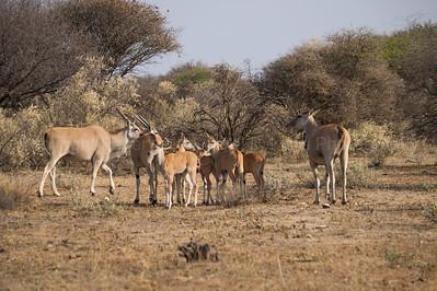 Small herd of eland