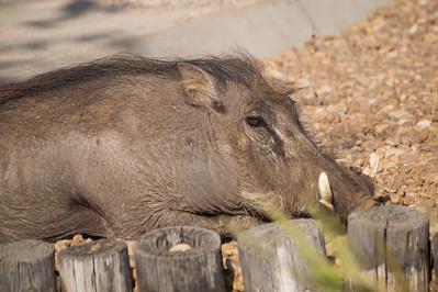 Warthog relaxing