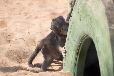 Baby baboon sharpening his teeth on a tire