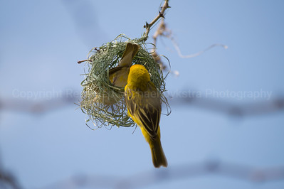 Southern Masked Weavers with their nest