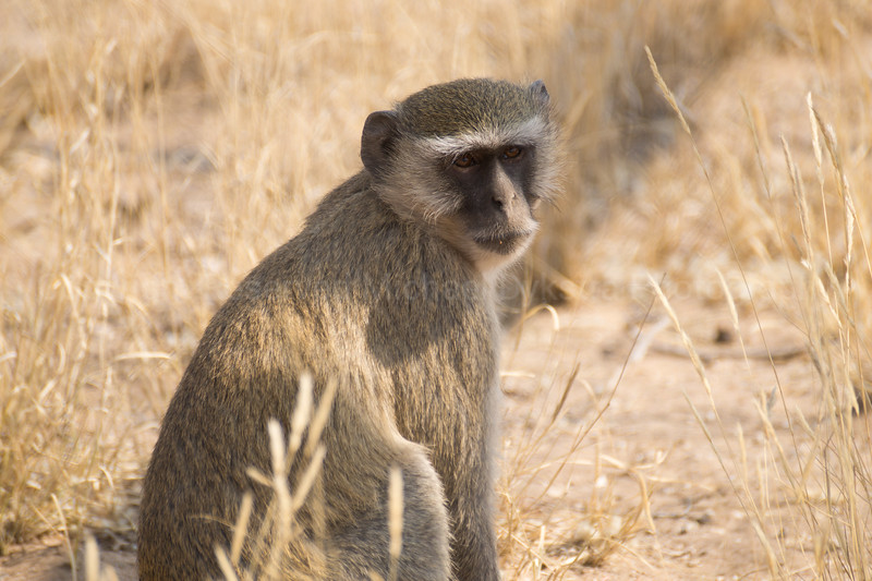 Vervet Monkey, looking forlorn to try to get more food