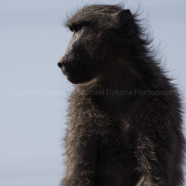 The human qualities of baboons are so striking. The way this guy was just gazing off into the distance was almost haunting, that he was contemplating something (probably how to get outside the fence)