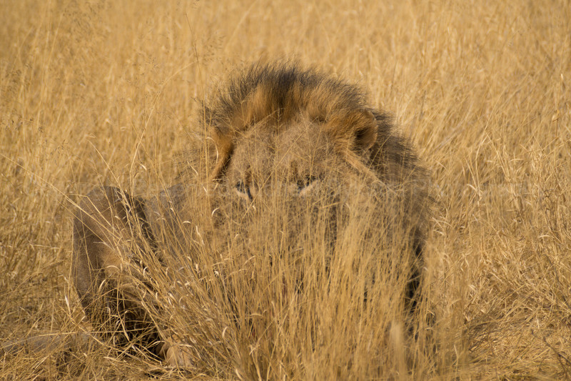 Camouflaged lion. It's easy to imagine how he could creep up on prey without them noticing.
