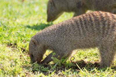 Banded Mongoose digging