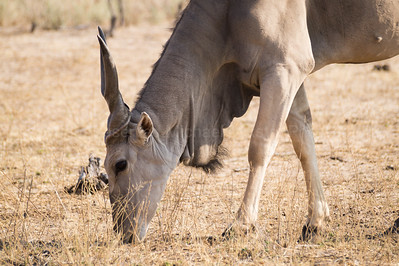 Adult Eland munching the sparse grass