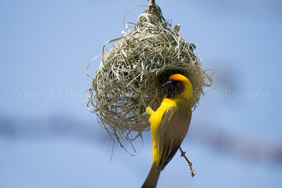Southern Masked Weaver. By looking at their nest, can you see how they got their name?