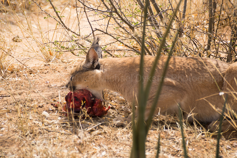 Caracal devouring a donkey heart. If u had any doubts about his cute beast being able to rip you to shreds, I hope they're gone now.