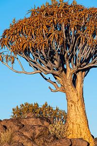 namibia, keetmanshoop, wildlife, plant, aloidendron dichotomum, quiver tree, kokerboom