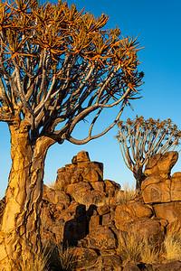 namibia, keetmanshoop, wildlife, plant, aloidendron dichotomum, quiver tree, kokerboom, black&white