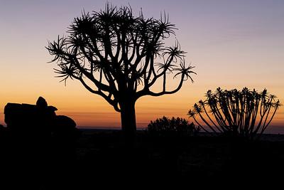 namibia, keetmanshoop, wildlife, plant, aloidendron dichotomum, quiver tree, kokerboom, sunrise