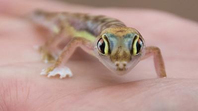 Desert Gecko