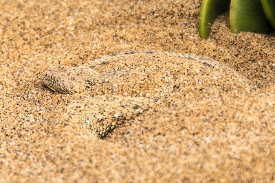 Viper snake vibrating itself into the sand, waiting for diner.