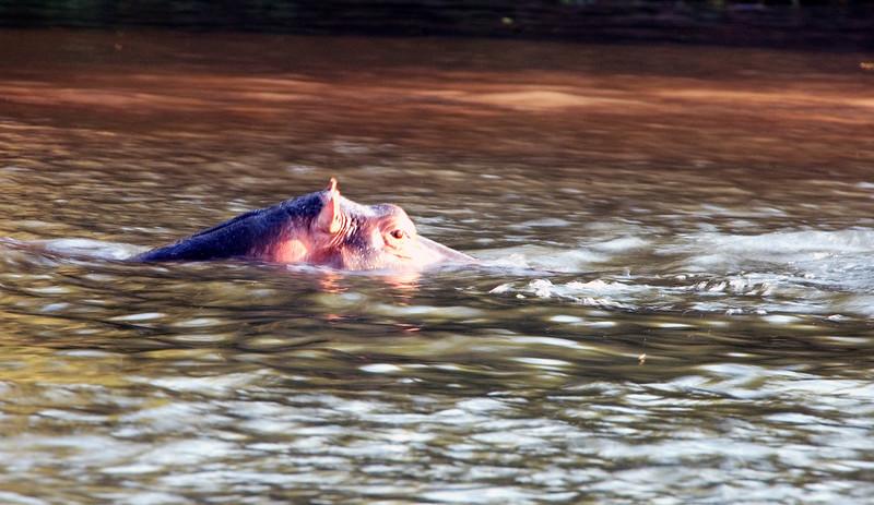 Hippos_in_Zambezi2