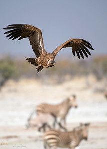 Vulture at waterhole