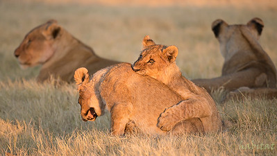 Lion Cubs at play