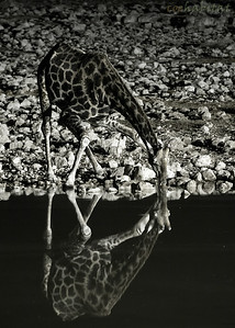 Giraffe drinking at night
