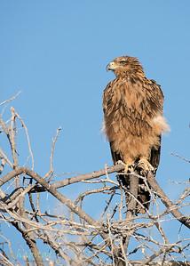 Tawny Eagle in tree
