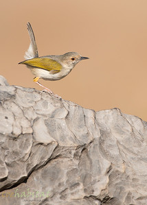 Yellow Breasted Apalis