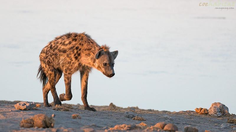 Patrolling Hyena