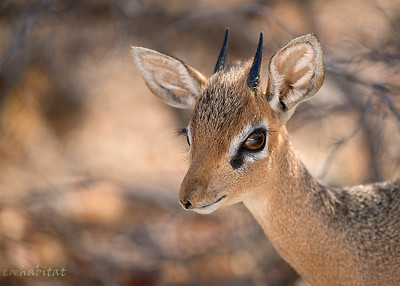 Damara Dik-Dik close-up