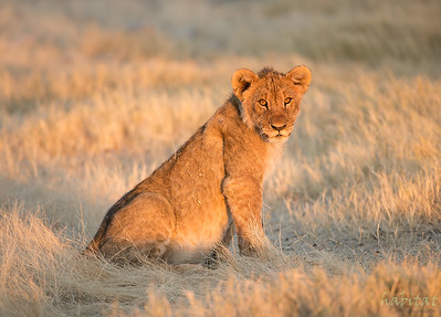 Lion juvenile in morning light.