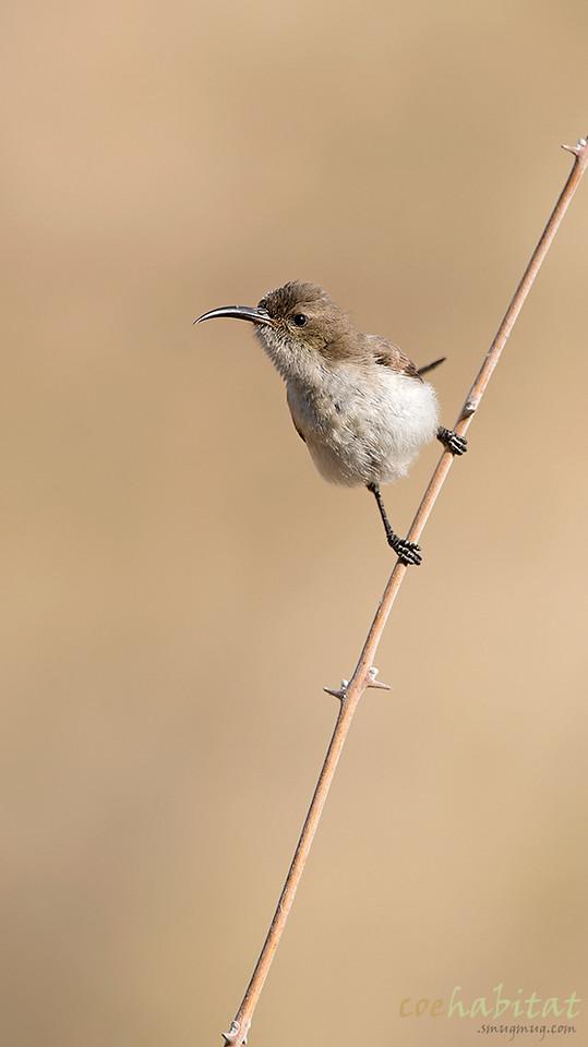 Dusky Sun Bird