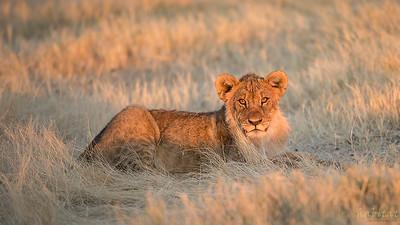 Lion juvenile in morning light.