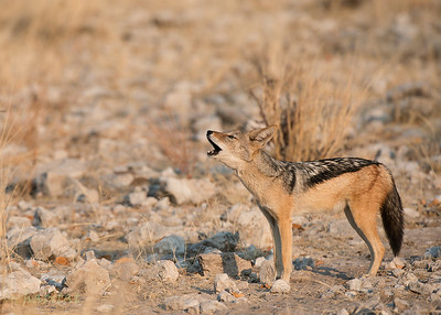Howling Black-Backed Jackal