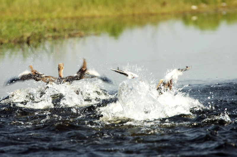 Splashing_Ducks