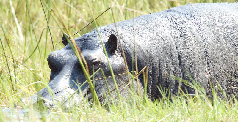 Hippo_in_the_reeds