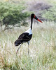 Saddle-billed_Stork