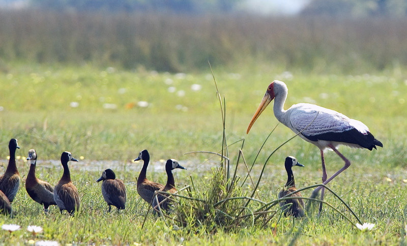 African_Stork_w_whitefaced_ducks