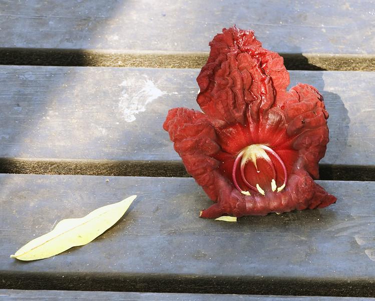 Sausage_tree_flower