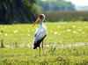 African_Stork