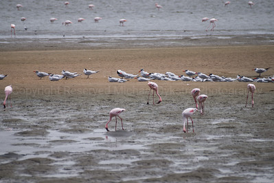 Greater Flamingos (white), lesser flamingos (all pink), and Caspian Terns