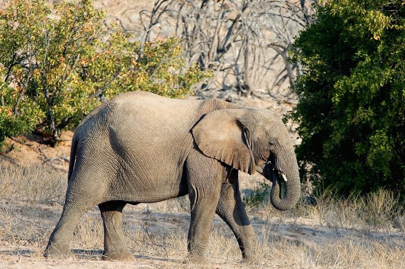 Desert_adapted_Elephants3