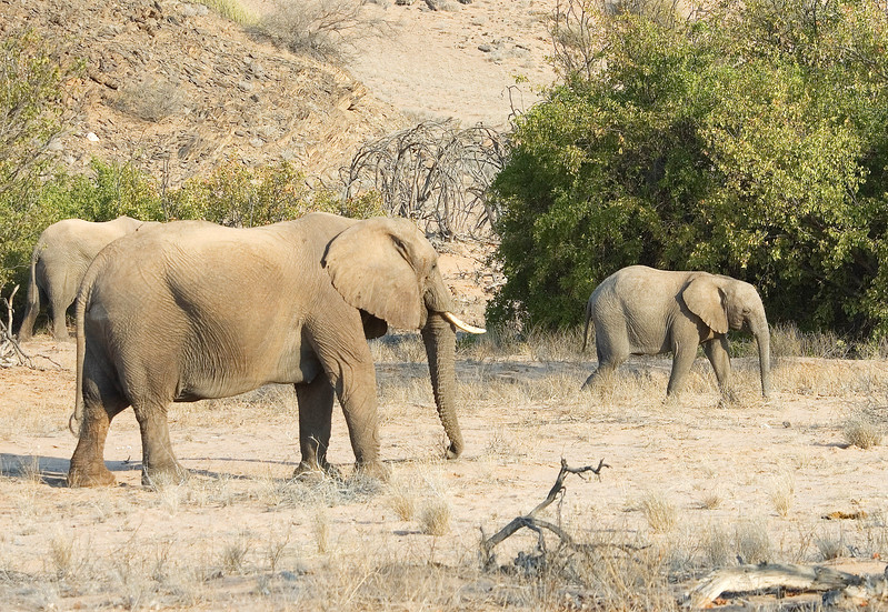 Desert_adapted_Elephants2