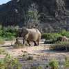 415 Desert Elephants, Damaraland