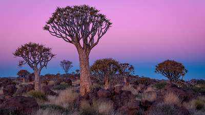 Quivertree Forest, Keetmanshoop - Namibia