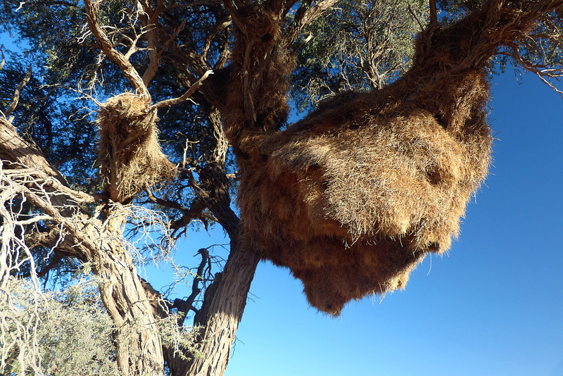 Social Weaver nest, Namib Desert