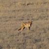 Desert Fox, Namib Desert